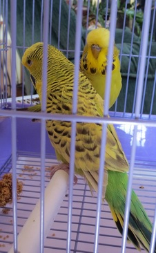 Texas clearbody and cinnamon greygreen budgies