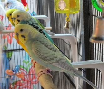 Male budgies in a row