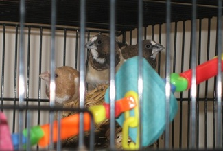 Fawn and Chocolate Pied Society finches