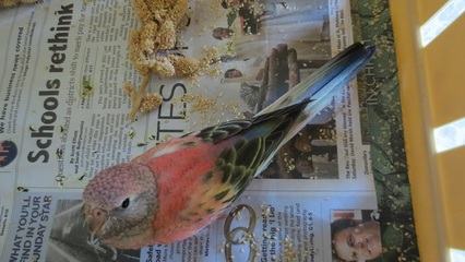 Opaline (Rosie) Bourke's Parakeet split to pale fallow